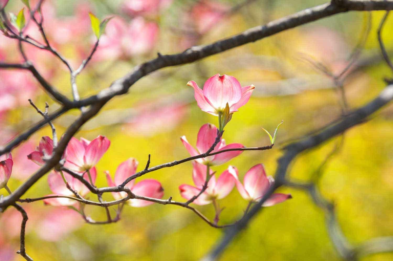 dogwood-trees-farmington-gardens-4.jpg