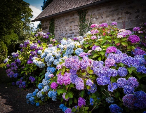 Hydrangea Farmington Gardens