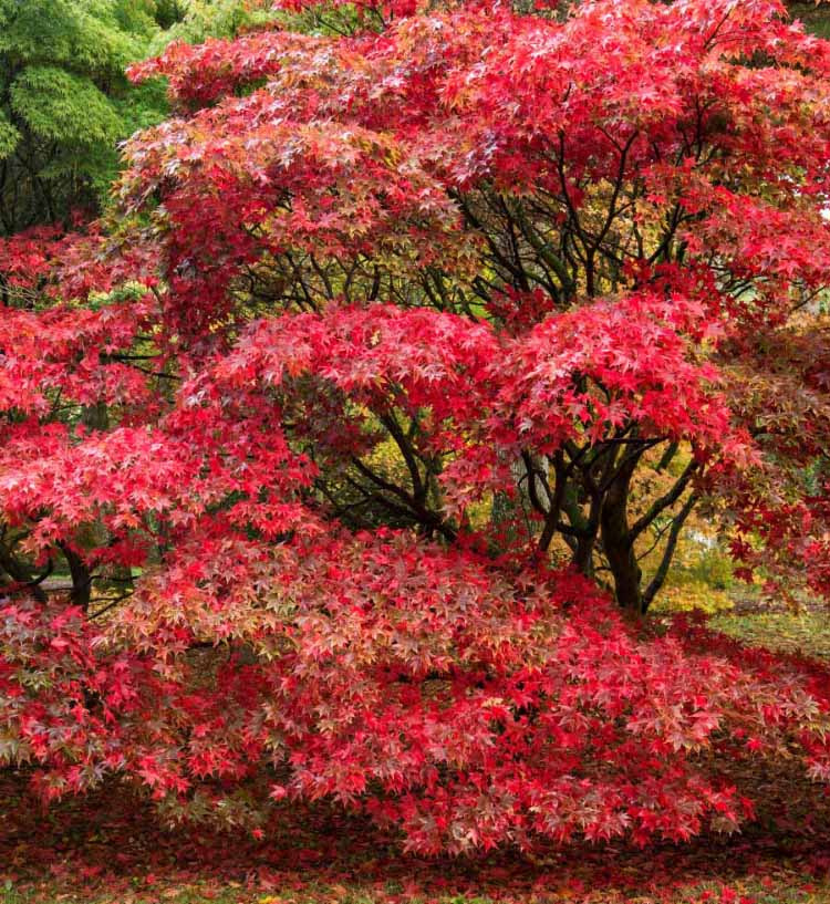 Japanese Maple Trees Farmington Gardens