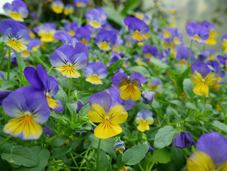 Long Blooming Perennials Viola Farmington Gardens