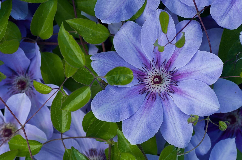 Clematis farmington gardens - Plantas trepadoras de sol ...