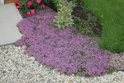Groundcover Guide Farmington Gardens, Edible Ground Cover