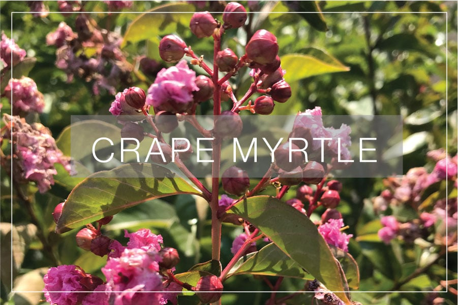Crape Myrtles–Lagerstroemia!