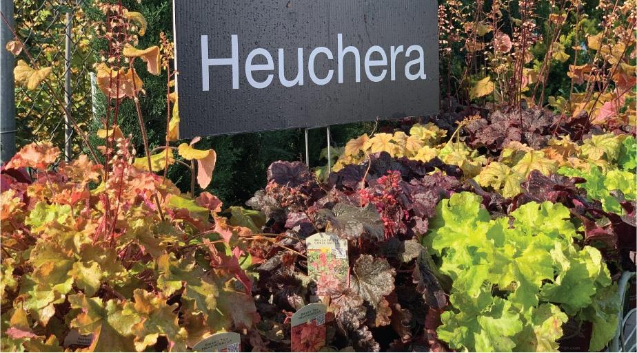 How about Heuchera?
