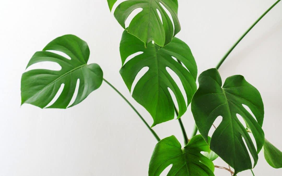 Monstera Deliciosa, Split Leaf Philodendron